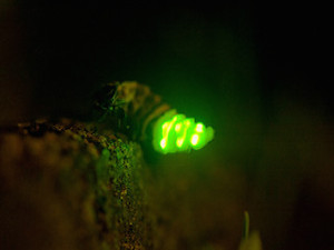Foto: Kakadu 4.8.2011 - Firefly via photopin (license)